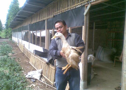 Bebek Peking siap panen